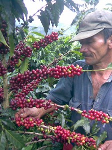 Colombia Coffee Beans on Tree