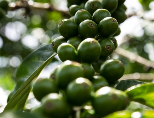 Five Facts About Green Coffee Everyone Should Know